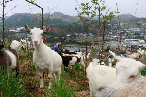 Geiteflokken på Gitleberget var på over 70 dyr i fjor.