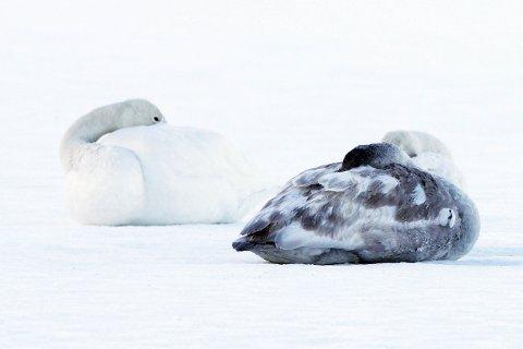 – Svanene har ikke frosset fast, skriver fugleekspert Bjørn Øfstaas.