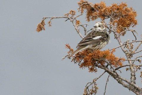 Bjørn Øfstaas skriver om hvorfor enkelte fugler, som denne heipipelerka, har innslag av hvite fjær.