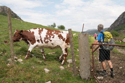 Hvert år går over 250.000 kalver, kviger og kyr på sommerbeite i utmarka i Norge. Som turgåer kan det være greit å kunne noen kuvettregler.