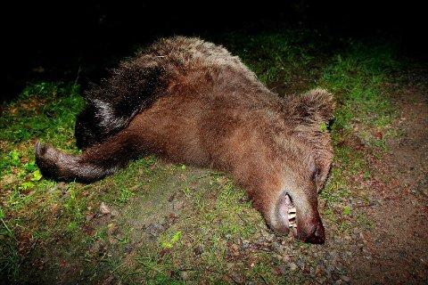 FELTE BJØRN: Det ble felt en bjørn innenfor rovdyrgjerdet på Grue Finnskog tirsdag morgen. Dette bildet er fra forrige gang det ble skutt bjørn der, i 2010. Foto: Ole-Johnny Myhrvold