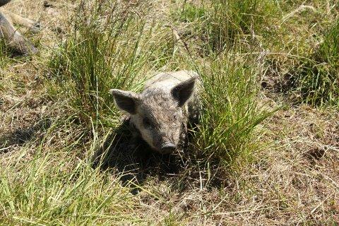 FRAMTIDA: Denne sky, lille grisen er fire uker og er framtida på småbruket på Tjura.