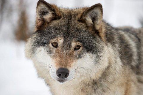 ØKT JAKT: Det kan gå mot mer ulvejakt.