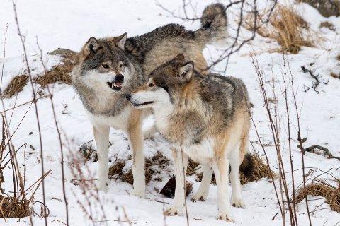 KOMPENSASJON: Regjeringen strør kroner utover ulvekommunene.