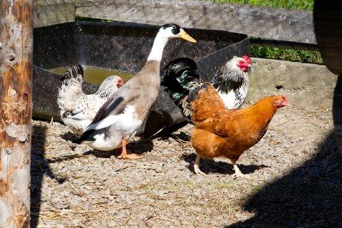 På gården hjemme hos Silje Græsberg går anden Simen sammen med hønene. Han har den bruna høna som kjæreste, men nå ønsker han i stede ei jente-and.