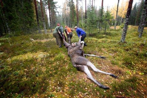 Miljøverndirektoratet har utvidet jaktiden på elg til å gjelde fra 25. september. Men de fleste jegerne vil opprettholde tradisjonen og starter den 5. oktober. (Illustrasjonsbilde fra Tobøl- og Stagnes jaktlag).