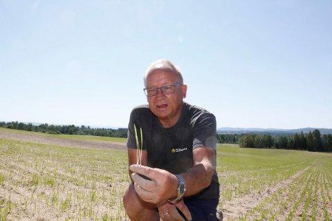 TØRKE: Allerede tidlig i vekstsesongen fikk enkelte kornåkre en utfordring på grunn av tørken. Otto Sveen i Norsk Landbruksrådgiving Øst viser hvordan de unge plantene har strevet med å få tak i gjødsel i den tørre jorda.