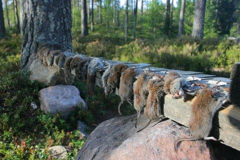 Det rapporteres om enorme mengder mus over hele Østlandet. Grunnen er sommeren for to år siden. Bildet er tatt på Finnskogen der bestanden måles hvert år.
