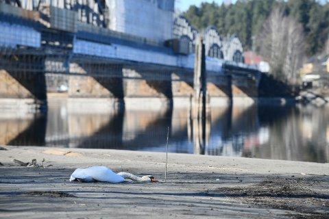 DØD: Flere RB-lesere har observert den døde svanen i løpet av fredag formiddag.