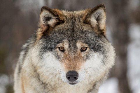 ULVESTAMMEN ØKER: Den svenske ulvestammen har økt med 65 individer på ett år, den teller nå om lag 365 ulver. Da den norske ulvestammen ble telt tidligere i år, viste det seg at en god del av den norske ulvestammen er grenseboere.