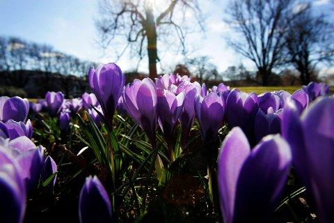 OSLO 20070321: I Botanisk hage i Oslo blomstrer de første levende vårtegnene. Sol og blå himmel preget hovedstaden onsdag. Krokus. Foto: Lise Åserud / NTB  .