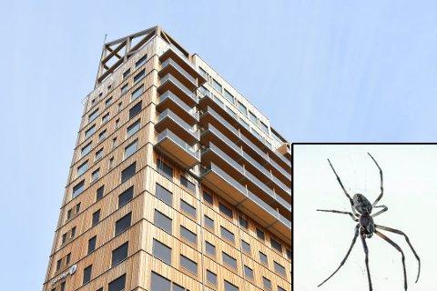 TRIVES I HØYDEN: En familie som bodde i Mjøstårnet i Brumunddal reagerte på antall edderkopper. Til slutt ble en ekspert fra Toten tilkalt for å gi sine vurderinger.
