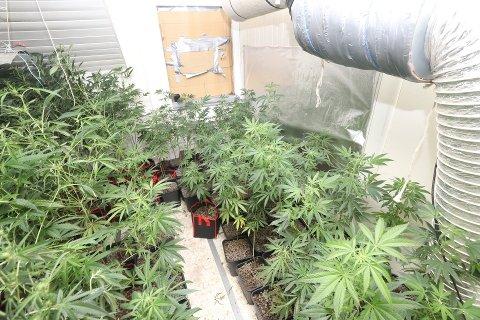 PROFESJONELT: Politiet karakteriserte produksjonen ved cannabisplantasjen som profesjonell. Plantasjen var utstyrt med lys, varme og ventilasjon – for å gi de narkotiske plantene optimale vekstforhold.