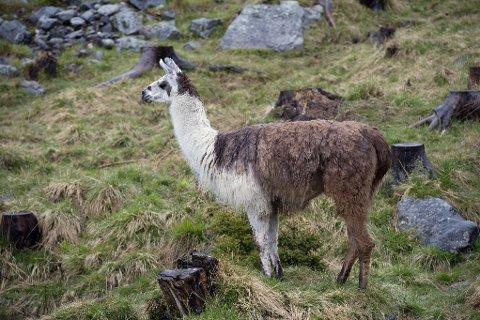LAMA: Lama er et søramerikansk kameldyr. Det er ifølge nettleksinkonet Wikipedia gjort tildels vellykkede eksperimenter med å slippe lamaer sammen med saueflokker på beite, også i Norge. Lamaene har et sterkt forsvar og lykkes ofte med å forsvare flokken mot ulike rovpattedyr.