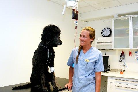 BLODBANK: Dyrepleier Ida Arlien står i spissen for etableringen av blodbank for hunder ved Sentrum Dyreklinikk. Her er det kongepuddelen Enya som «får blodoverføring» til ære for fotografen.