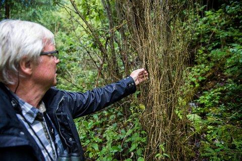 Klatrer: Jon Opheim har funnet en død skogranke som har kveilet seg rundt et annet tre. Foruten voksestedene i Øyer må du helt til Finland for å finne det nærmeste leveområdet for arten.