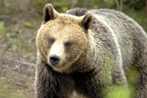 NY JAKT: Nå jaktes det på en ny brunbjørn i Ringsaker kommune. Sauebøndene frykter en ny bjørn er på farten i kommunen. Illustrasjonsfoto