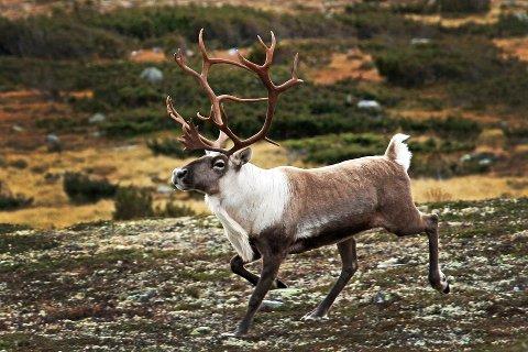 VANSKELIGERE Å TELLE: Villreinen i Rondane sør trekker ned i skogen mot utkantene av området. Det gjør den vanskeligere å telle, og kan være grunnen til at bestanden ser ut til å synke. På to år er jaktkvotene redusert med 70 prosent.Foto: Erik Hagen