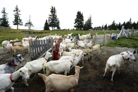 PLEIER LANDSKAPET: Fra mai til oktober produseres det meste av geitemjølka i Norge på beite, både på utmark og innmark. Bildet er fra Svinslåa på Fåvangs vestside.