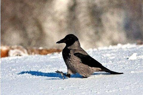 KRÅKEMÅL: Det er lov å jakte på kråke fra 15. juli til 31. mars.     Foto: Aleksander Myklebust