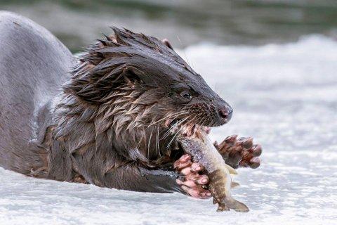 VELLYKKET FISKETUR: Oteren nyter fersk fisk.