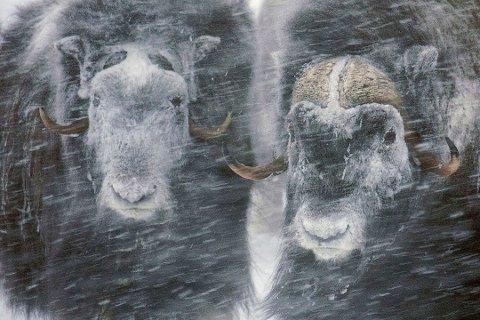 Moskus i stormen, heter dette flotte bildet tatt av Jon Stensrud fra Vinstra. (Foto: Jon Stensrud)