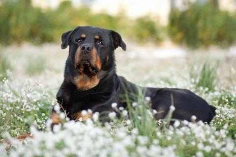 ROTTWEILER: Det var en hund av denne rasen som ble stukket med kniv under et basketak med en elghund.