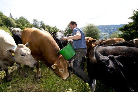 Slapp heldig fra det: Aksel Seielstad ble stanget ned av en okse han nettopp hadde kjøpt . – Det skjedde uten forvarsel. Jeg vil advare folk mot å gå inn på beiteområder. La dyrene være i fred, sier gardbrukeren fra Sør-Fron. Oksen Brutus på bildet veier 1.300 kilo, men er fredelig til sinns.
