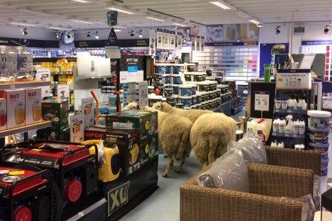 Her forsvinner sauen inn mellom butikkhyllene i byggvarebutikken på Lesjaskog