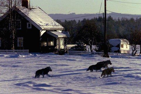 Endring: Forskerne bekrefter det de fleste har sett: Ulven fordriver beitenæringa fra utmarka. Illustrasjonsfoto: Scanpix