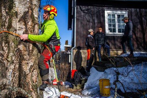 Trefeller Magne Lien på vei opp i den store bjørka som Sigrid Undset fikk plantet på Bjerkebæk i 1925.