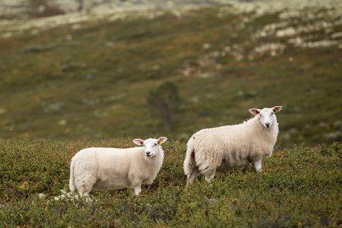 Vinstra  20180829. Sauer på fjellbeite i Sødorpfjellet i Gudbrandsdalen. Foto: Paul Kleiven / NTB scanpix