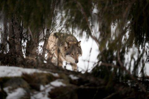 Opprop: Gunnar Gundersen i Glommen skog, tidligere stortingsrepresentantg for Høyre, beskriver rovdyrforvaltningen som et være eller ikke være for mange distriktssamfunn.Ill.Foto: Scanpix Foto: Heiko Junge / NTB scanpix