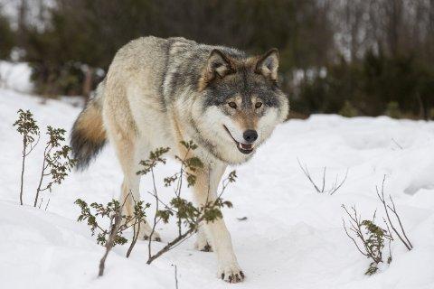 Stille: Tapene av beitedyr har gått ned i Gudbrandsdalen. Engasjementet i rovdyrdebatten har falt tilsvarende.Arkivfoto: Scanpix