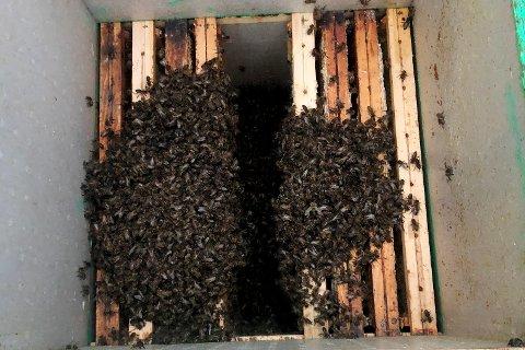 """Biesvermen er her hentet trygt ned fra pipa til Ståle Øversveen. Et middel som brukes gjør at biene slapper godt av, og kan kose seg med """"honning and chill""""."""