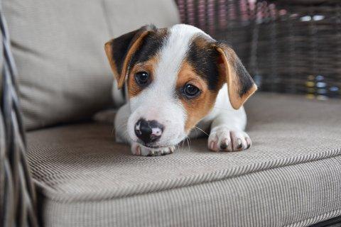 HJEM: Hunden Dennis (8 uker) er døv og leter etter en familie som kan hjelpe ham å mestre livet uten hørsel.