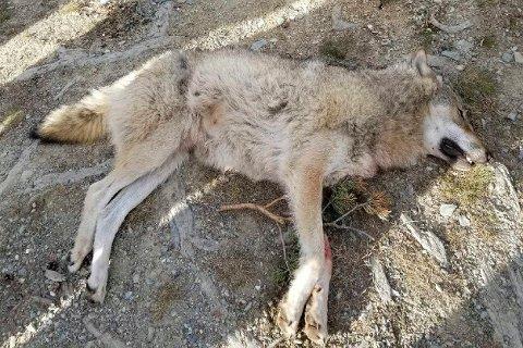 Her er en ulv som ble felt i Kvamsfjellet i Nord-Fron kommune i Gudbrandsdalen.