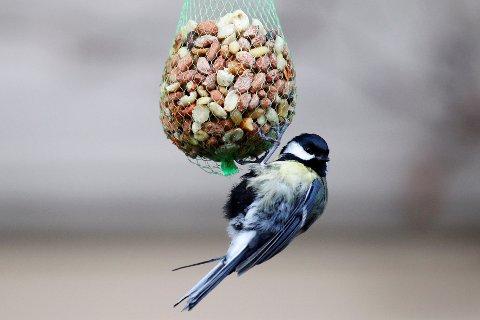 En kjøttmeis har funnet seg litt nøttesnadder. Men bør vi fortsette å mate fuglene nå som våren kommer?