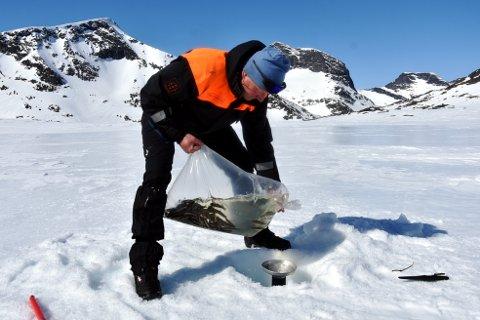 165 CENTIMETER TJUKK: Etter å ha streva seg gjennom isen er Vidar Rugsveen klar til å tøme sekken med 100 settefisk i øvre Leirungstjønn (1678 moh) under påsyn av mektige Svartdalspiggar  godt over to tusen meter til værs.