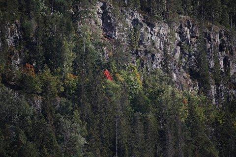 BLE LURT: Denne flotte høstkledde buska forårsaket blålys og helikopterutrykning i Hole onsdag ettermiddag.