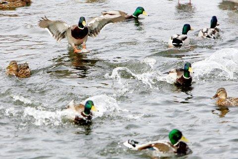 GJORT FUNN: Dette bildet er fra Østensjøvannet i Oslo. Den siste tiden er det funnet fem døde eller åpenbart syke fugler her.