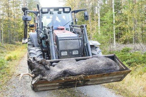 PÅ TRAKTOR: Her kjøres elgen tilbake til gården.
