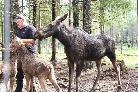 Venner: Thomas Mossberg har et godt forhold til elgen Helga. Her passer hun på mens Mossberg mater de to kalvene hennes.