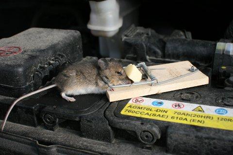STORT SKADEPOTENSIAL: Mus er skadedyr og kan gjøre mye ugagn når den finner det for godt å avlegge bilen din et besøk. Ofte trekker de inn i motorrommet for å finne varme når kulda setter inn. Ei musefelle med en ostebit fristet denne lille krabaten.foto: odd arne ruud