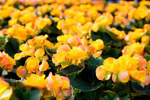 PÅSKE: Påskehøytid og gule farger inne i hagesenteret.