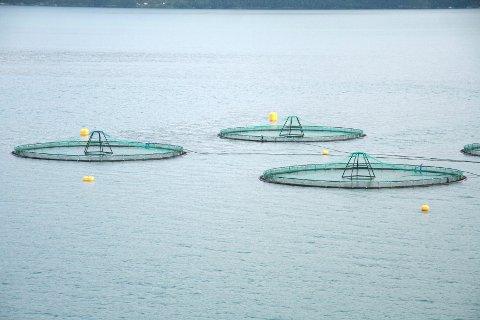 Fiskeridirektoratet melder om laks på rømmen frå eit anlegg ved Varaldsøy. Illustrasjonsfoto: Jenny Tommsdatter Gabrielse