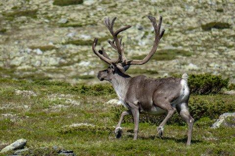 FRYKT: Jegere og ordførere rundt Hardangervidda frykter at villreinen der skal bli utryddet.