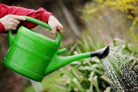 KUN MED KANNE: Til tross for 69 mm nedbør de siste dagene fortsetter vanningsforbudet på Karmøy.