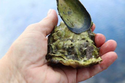 24052019:Skeisvang-elever plukker Stillehavsøsters: De begynner ofte sitt liv ved å sette seg fast på et blåskjell