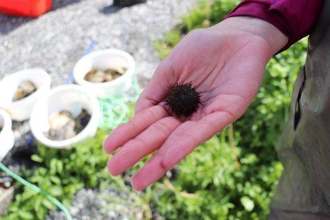 24052019:Skeisvang-elever plukker Stillehavsøstesr: Fra v:  Lærer Jonathan Simonsen ser på kråkebolla Lena   Kovacevic har funnet